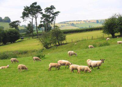 working-farm-sheep-welsh-borders-shropshire-accommodation