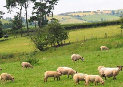 working-farm-sheep-welsh-borders-shropshire-accommodation-500x500