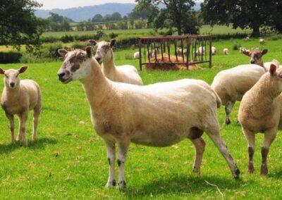 working-farm-welsh-borders-shropshire-cardington-bed-breakfast-uk-500x500